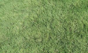 Stock Seed Farms Buffalograss