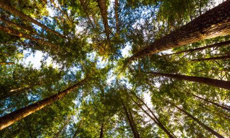 Hemlock Trees