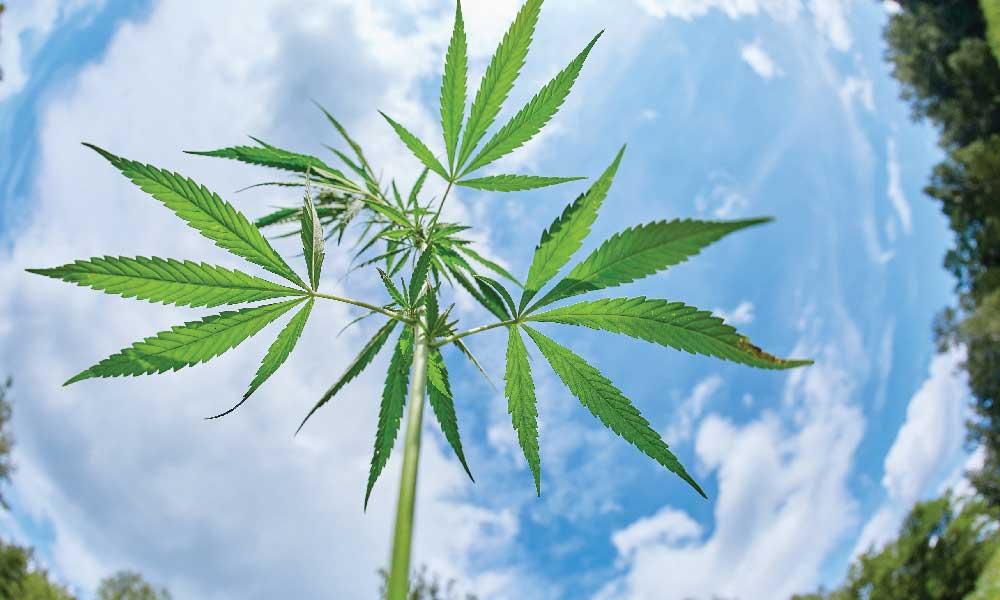 Weed Marijuana
