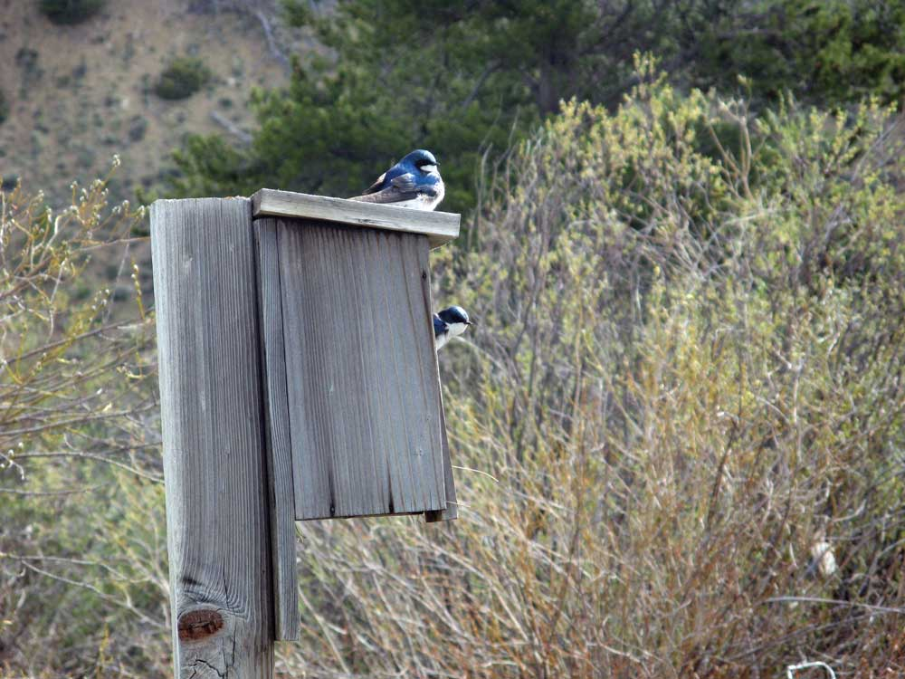 tree swallows and birdhouse