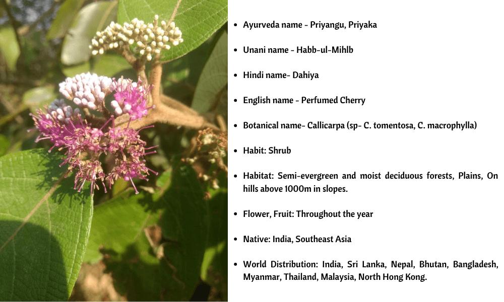 Callicarpa Details