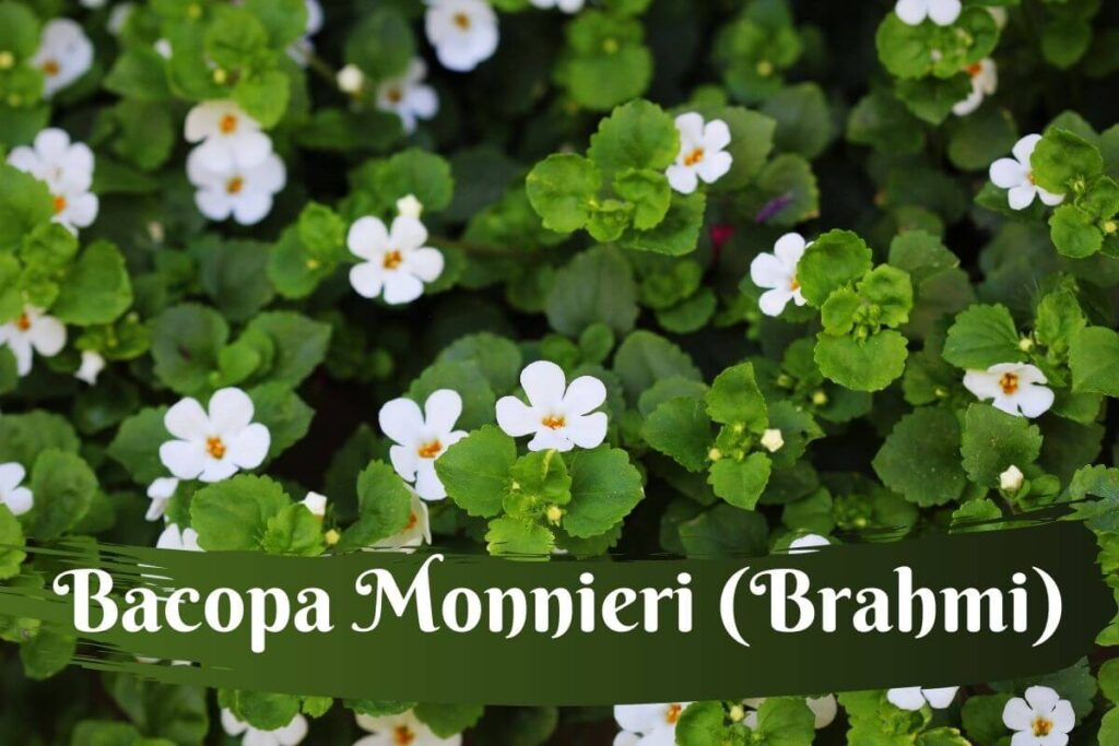 Bacopa Monnieri commonly called Brahmi