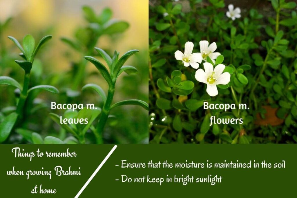 Bacopa m. leaves, flowers, and tips on growing at home