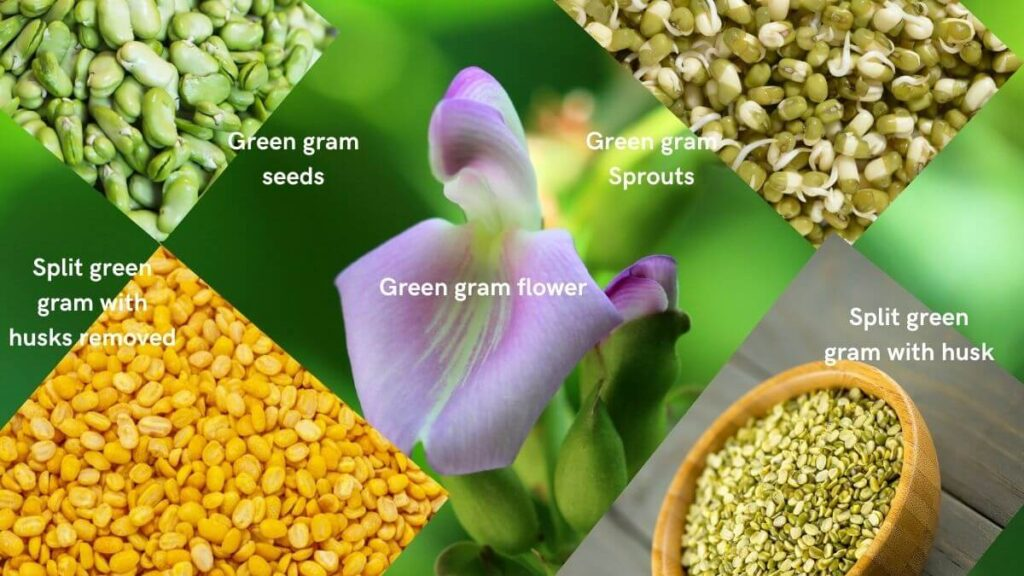 Images of green gram, plit moong dal with husk, without husk, and sprouted mung beans