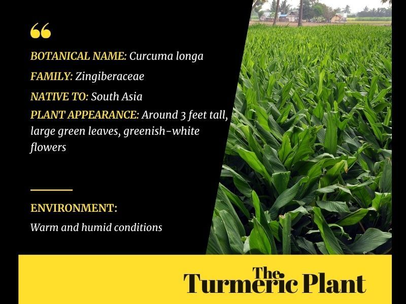 Infographic on Turmeric Plant (capable of health and beauty benefits due to curcumin)Details