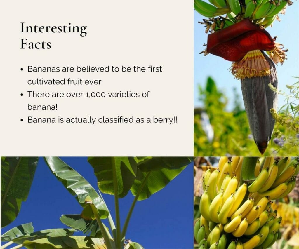 Infographic of interesting facts on banana