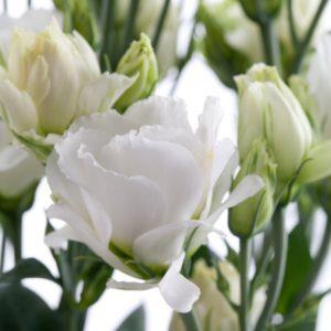 Lisianthus-Minilisi-White-Double-3