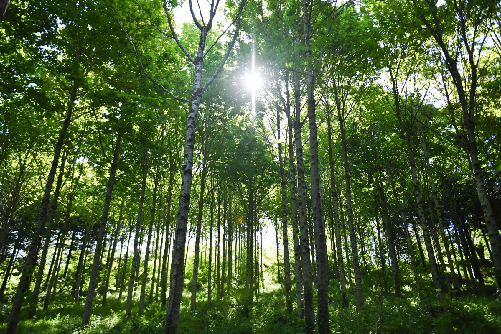 Young trees or old trees-which is more important for slowing climate change