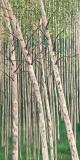 Acrylic-on-Canvas-Summer-Aspens-24x48