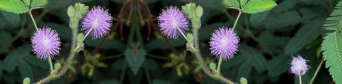 MIMOSA PUDICA – THE SENSITIVE PLANT