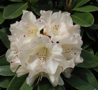 Shade Tolerant Rhododendrons