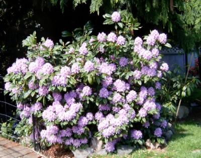 Blue Peter Plant