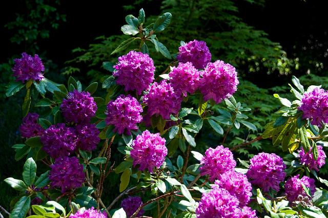 Rhododendron Colonel Coen