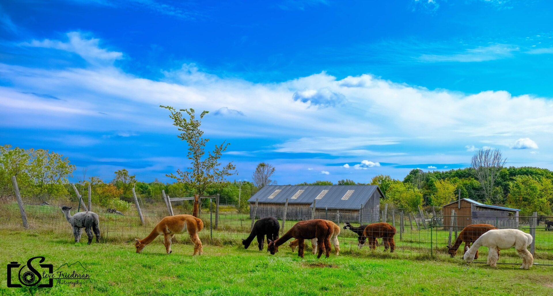 Home Again Farm Alpacas