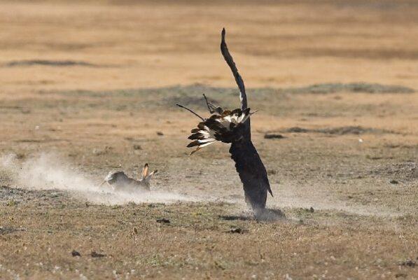 _MG_0737Joe Atkinson's eagle vs rabbit copy 2