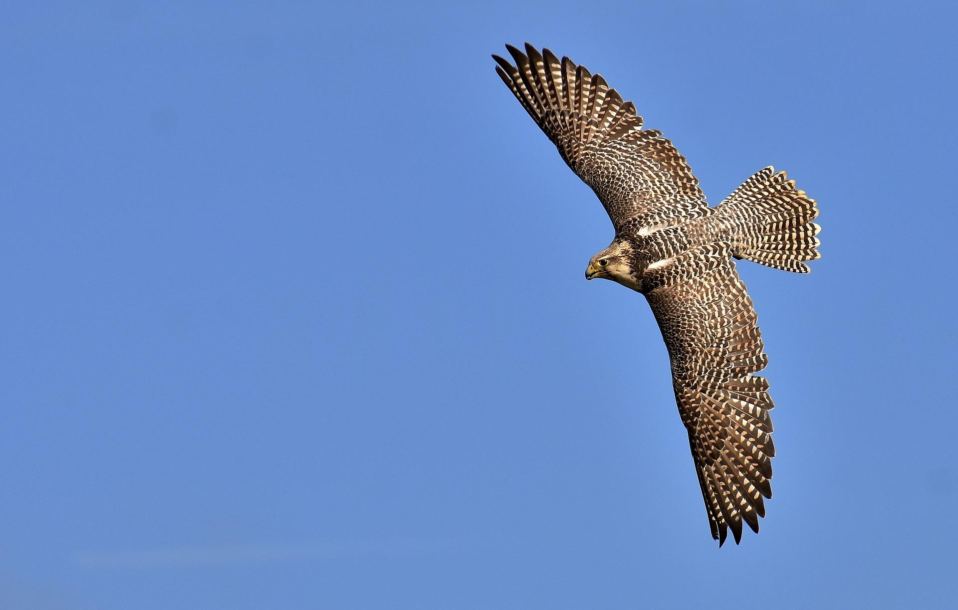 falcon-2909842_1920