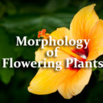 Morphology of Flowering Plants Questions and Answers