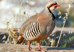 Chukar's Partridge