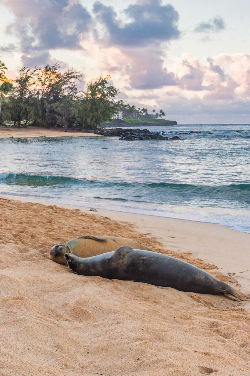 Study Hawaii - Monk Seals on Beach