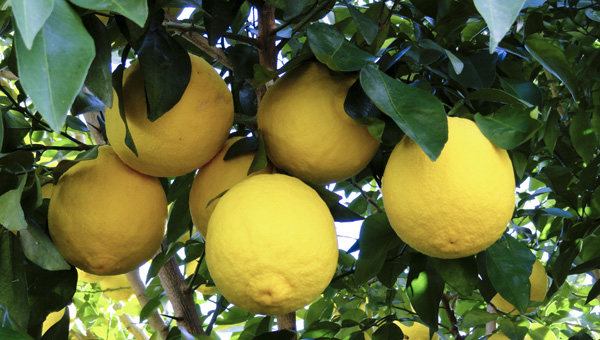 Ichang lemons can be grown in central Alabama without cold protection. This Ichang lemon tree is growing at Hayes Jackson's home near Anniston.