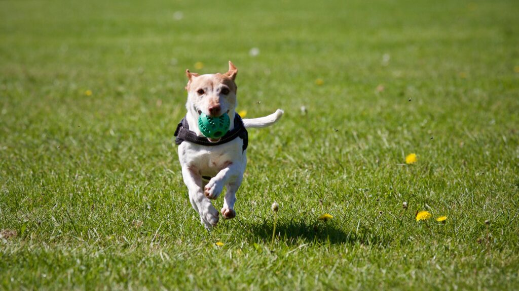 A dog is happily running through a dog park with green grass toward the camera with a ball in its mouth.