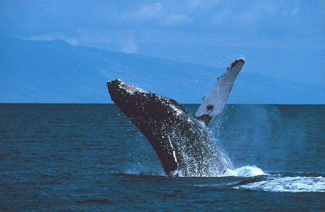 Maui humpback whale breaching offshore