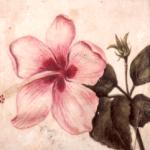 Hibiscus_de_Malcy