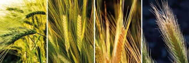 Photos of grass awns, sharp barbed seeds that resemble the top of wheat stalks.