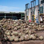 Entrega de agave a la Destilería El Ranchito (hi-res JPEG)