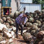 Procesamiento de agave a la Destilería El Ranchito (hi-res JPEG)