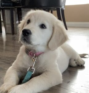 therapy dog in training