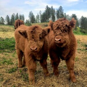 Baby highland cows hanging out on the ranch