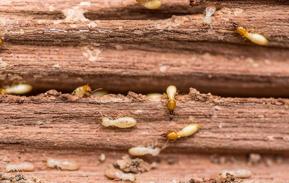 Termites Breed Quickly and Can Become More Problematic as Time Goes On