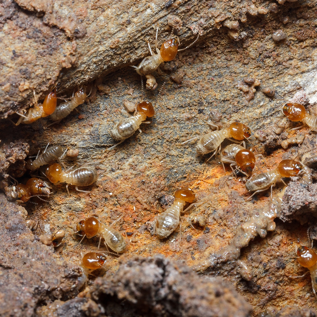 Termites Will Literally Eat Up Your Property Values