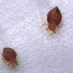 How to Get Rid of Bedbugs In Your Home