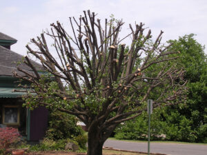 Is Tree Lopping or Topping a Tree Bad?