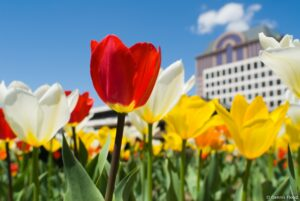How to Plant Tulip Bulbs in the Fall