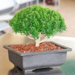 How to Decorate your Home with Indoor Bonsai Plants?