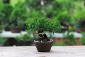 Bonsai Tree Varieties You Can't Resist