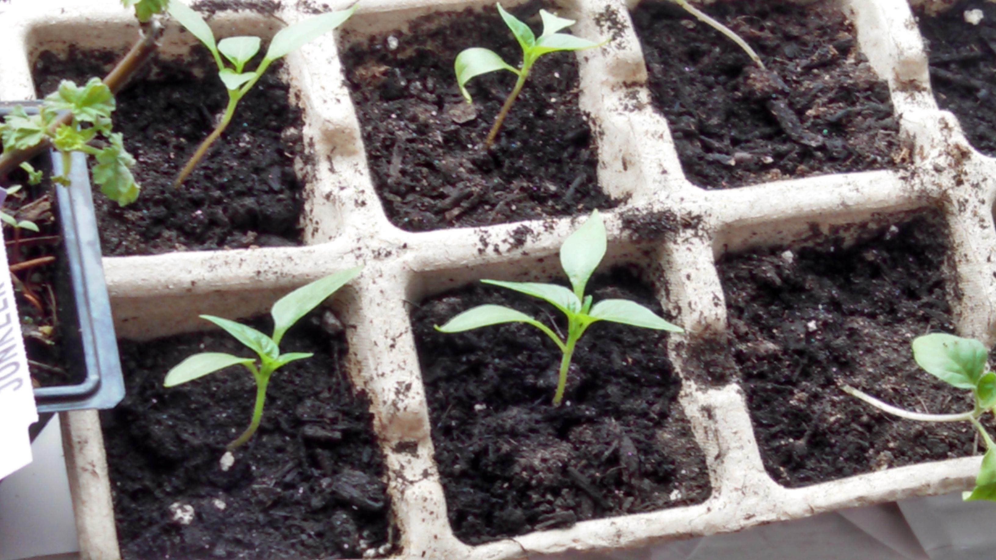 Victory Garden Update: Seed Starting!
