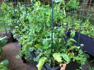 Garden peas and spinach getting out of hand!