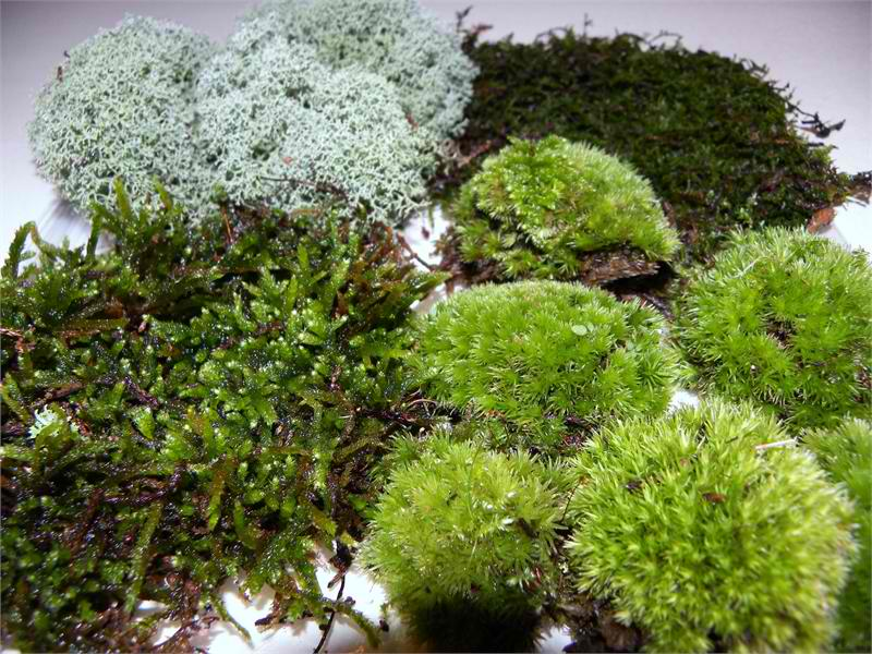 Ship moss