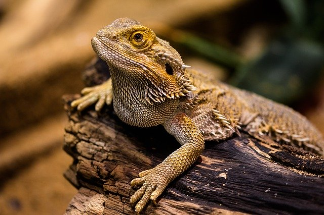 shipping a bearded dragon