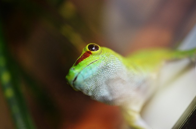 shipping  a gecko