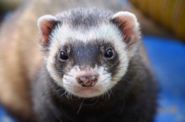shipping a ferret
