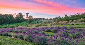 NJ mom lavender farm 6 best relaxing lavender farms in new jersey lavender fields nj