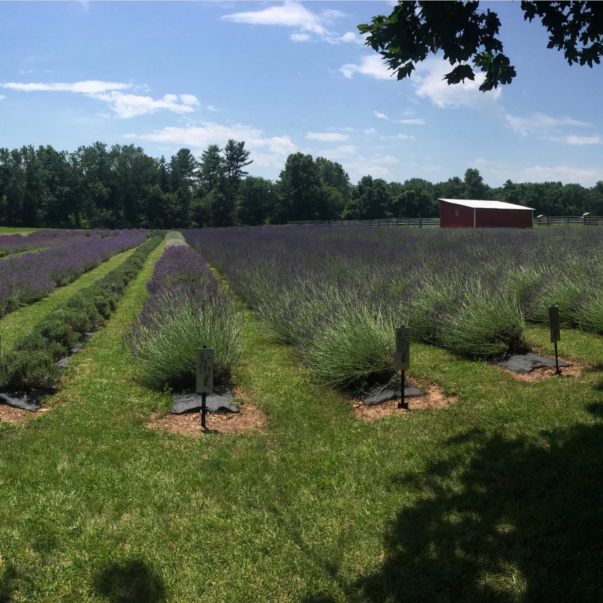 nj mom lavender farm 6 Relaxing Lavender Farms in New Jersey lavender fields nj hiddenspringlavender