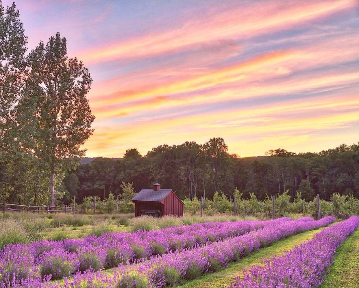 nj mom lavender farm 6 Relaxing Lavender Farms in New Jersey lavender fields nj rachelellentuck_photography