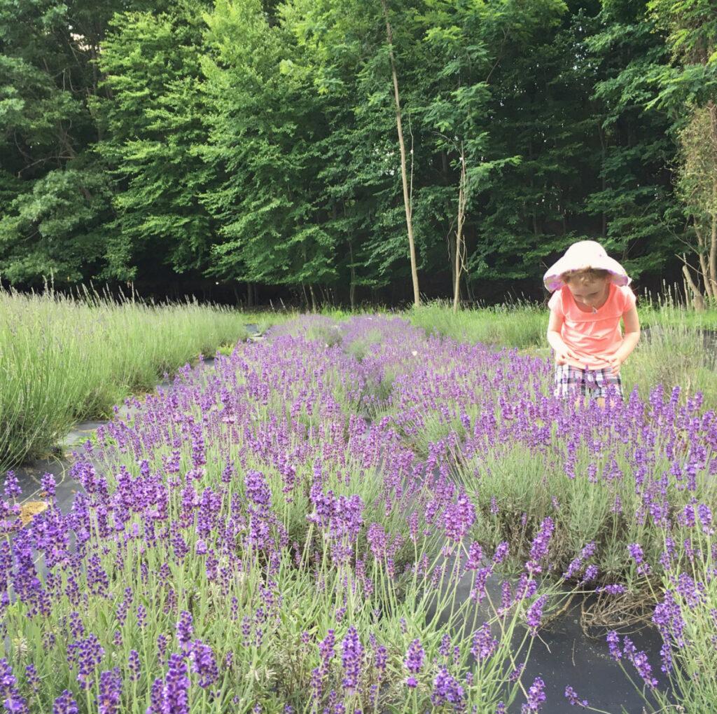 nj mom lavender farm 6 Relaxing Lavender Farms in New Jersey lavender fields nj shortcakealbums