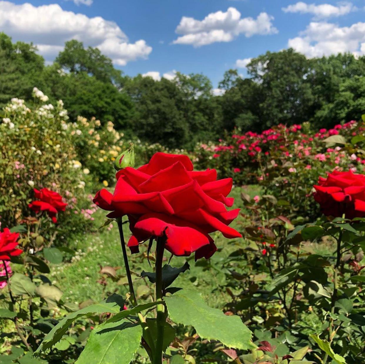 NJ Gardens, essex county rose garden